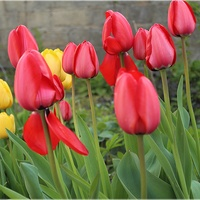 Bardzo duże tulipany...
