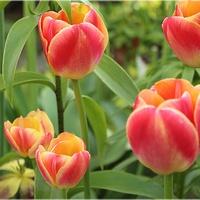 Cieplutkie tulipanki...