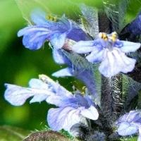 Coraz więcej błękitu w ogródku:)