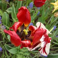 Czar tulipanowy prysnął....