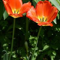 czerwone tulipany (wysokie)