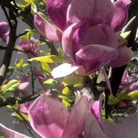 Dorodna magnolia.