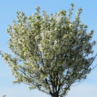 Drzewo obsypane  kwiatami