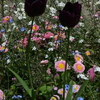 Dwa czarne tulipany w parku