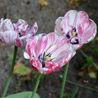 Dwukolorowe tulipany