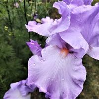 Irys bródkowy (Iris germanica L.)