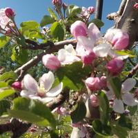 Jabłonie, kwitnące jabłonie.