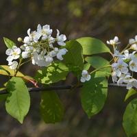 Jest wiosna, więc kwitną drzewa