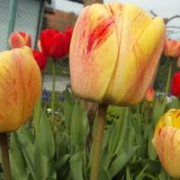 Kilka cieplejszych dni i tulipany...