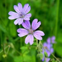 Kolorem lila zabarwiły trawniki:)