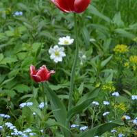 Kolorowy tulipan