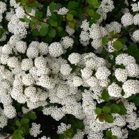Krzew kwitnący na biało, tawuła