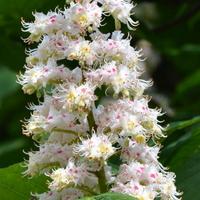 Kwiaty kasztanowca z bliska