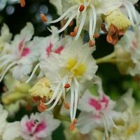 Kwiaty kasztanowca...