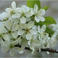 Kwitnąca wiśnia...
