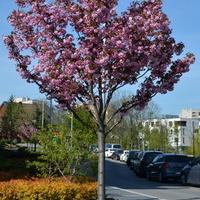 Kwitnący migdałek na moim osiedlu.
