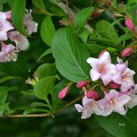 Kwitnący krzew krzewuszka