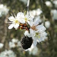 kwitną i lekko pachną