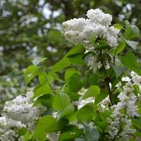Lilak biały
