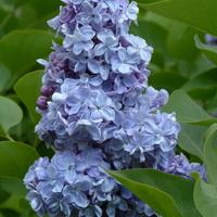 Lilak mimo, że niebieski
