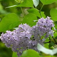 Lilak o delikatnej barwie