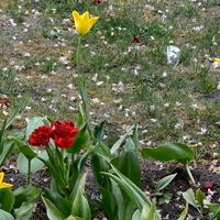 małe tulipany