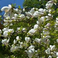 Magnolia biała, fragment