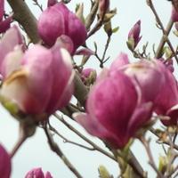 Magnolia dała radę.