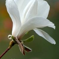 Magnolia walcowata