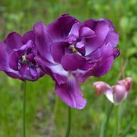 Niektóre tulipany już więdną.