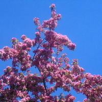 Obficie kwitną drzewa, fragment