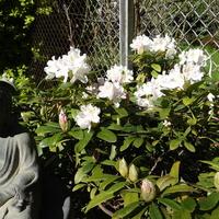 Pierwsze tegoroczne rododendrony
