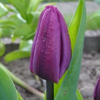 Pierwszy tuliś