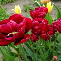 Powoli ubywa tulipanów