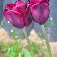 Przytulone tulipany