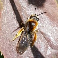 Pszczoła....