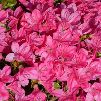 różowe kwiaty, dobrze oświetlone