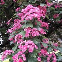 Różowe różyczki na drzewie