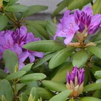Rododendron kwitnący