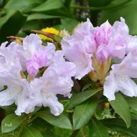 Rododendron na osiedlu