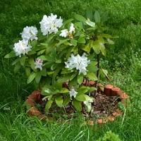 Rododendron przed blokiem
