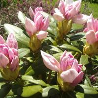 Rododendron. Teraz różowy.