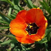 Słoneczny tulip....