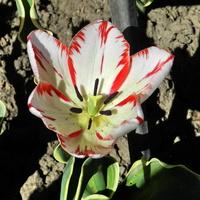 Tulipan biało-czerwony