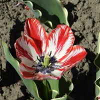 Tulipan czerwono-biały