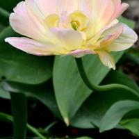 Tulipan kremowy