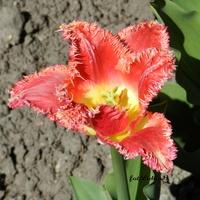 Tulipan 'Lambada'
