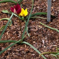 Tulipan mały w OB