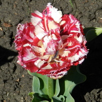 Tulipan 'Mascotte'