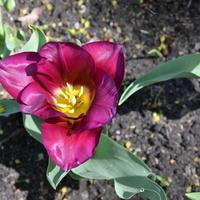Tulipan niskopodłogowy